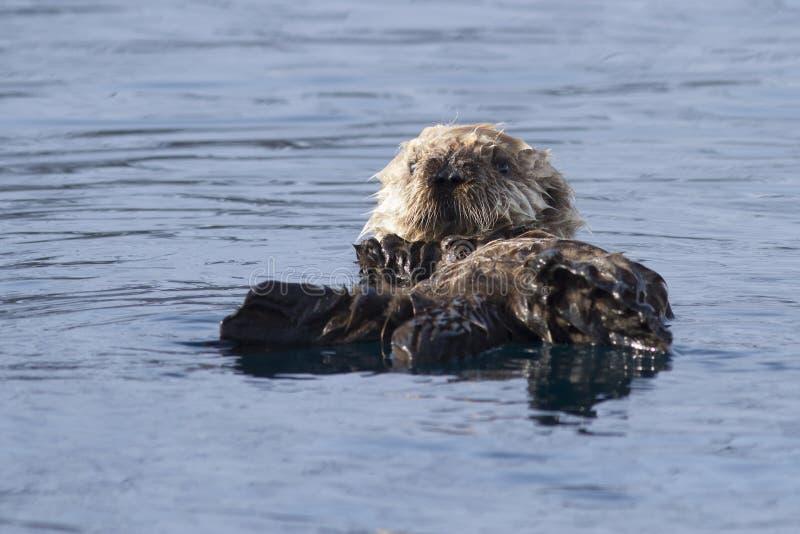 漂浮在春天晴朗的afternoo的海獭的小狗 图库摄影