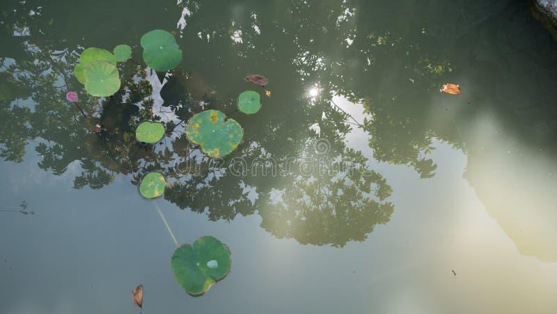漂浮在有树的阴影的一个池塘的睡莲叶 库存照片