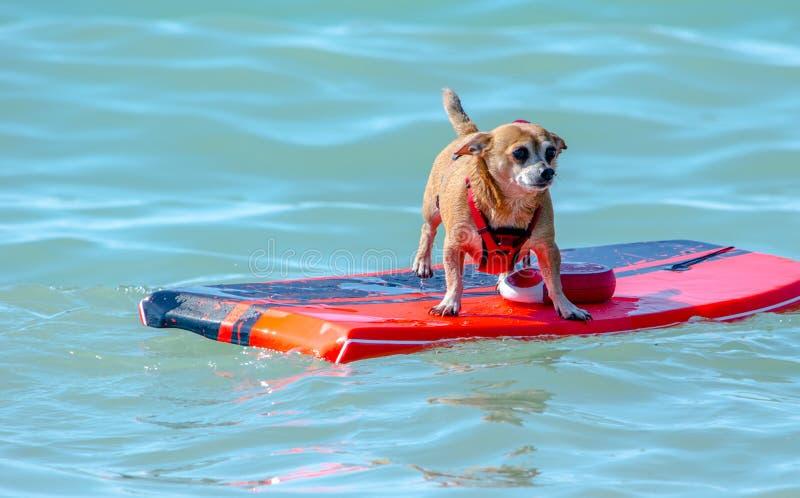 漂浮在木筏的小狗 免版税库存照片