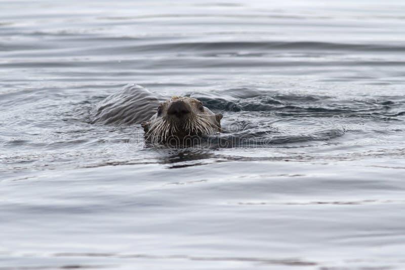 漂浮在水中的海獭的头在岸附近  免版税库存照片