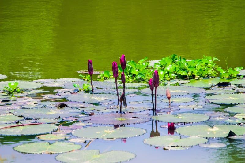 漂浮在水中 华美的荷花,美丽的Flowersfloating在水中 华美的荷花,美丽的Flowersfloating 免版税库存照片