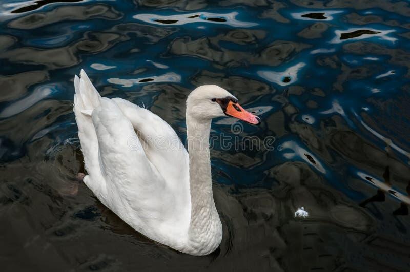 漂浮在水珍珠母的美丽的优美的白色天鹅 关闭 复制空间 库存图片
