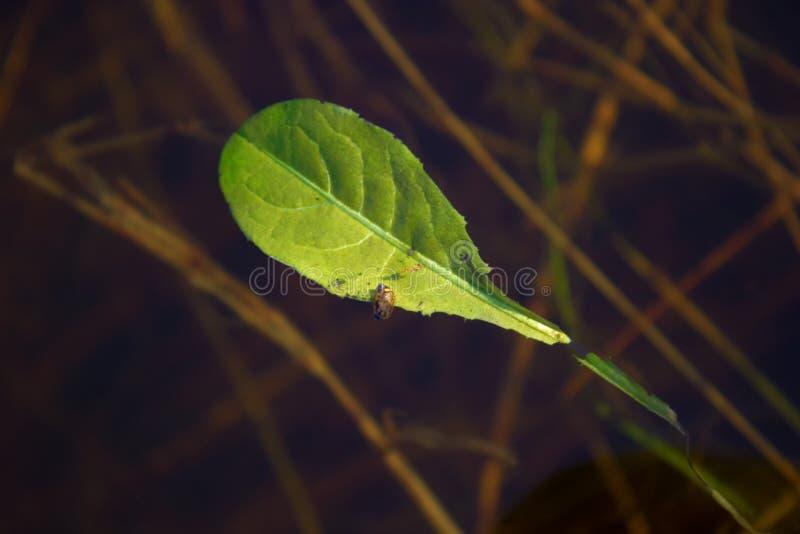 漂浮在水的一片年轻绿色叶子 图库摄影