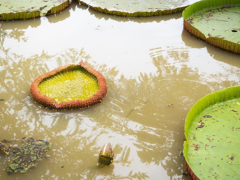 漂浮在水的大睡莲叶 免版税库存照片