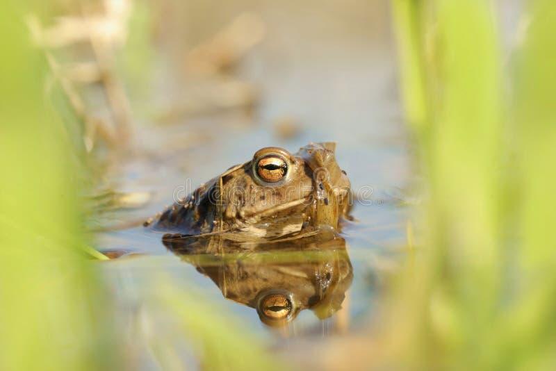 青蛙在交配季节期间的水中 免版税库存照片