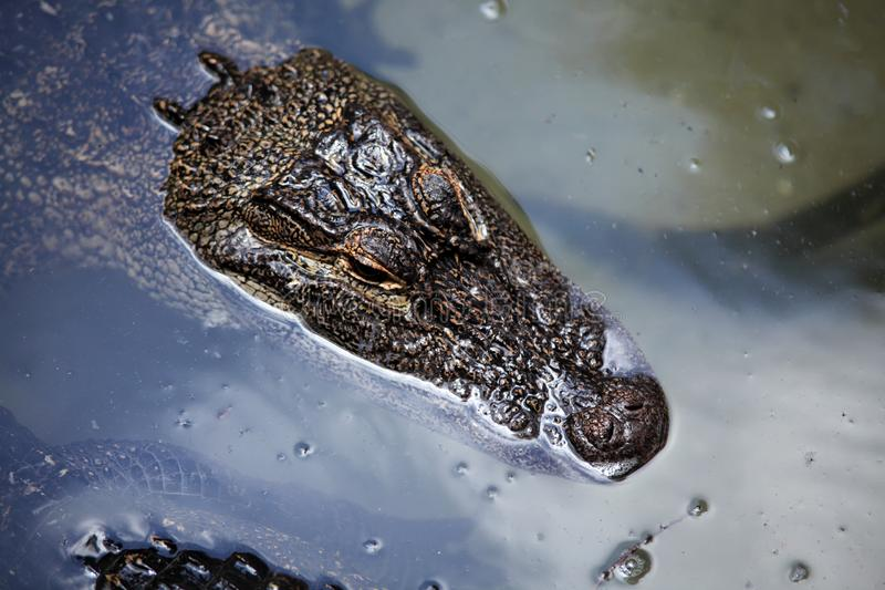 漂浮在水的鳄鱼 库存照片