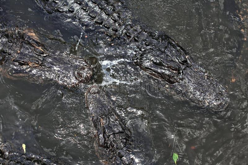 漂浮在水的鳄鱼 库存图片