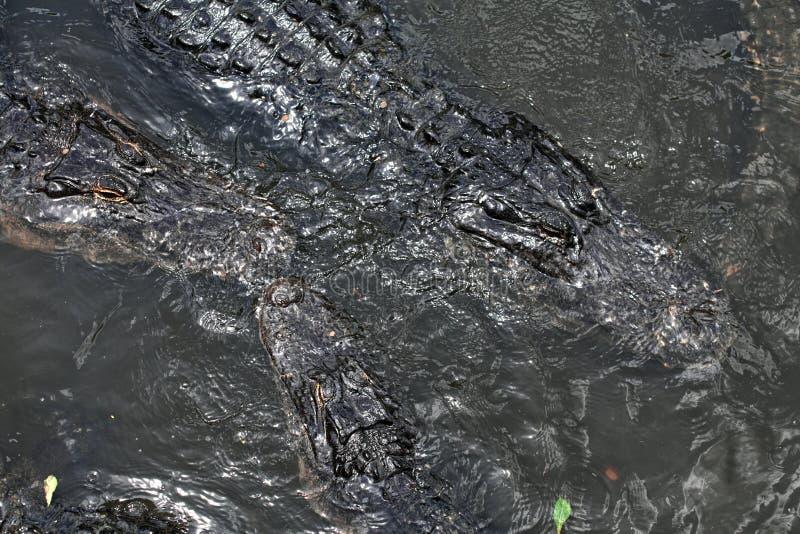 漂浮在水的鳄鱼 免版税库存图片