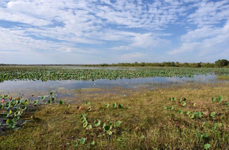 漂浮在水的Waterlilies 图库摄影