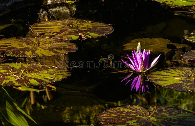 漂浮在水,紫色洋红色开花中的莲花绽放反映在池塘,凝思健康和谐sp的镇静平静的背景 图库摄影