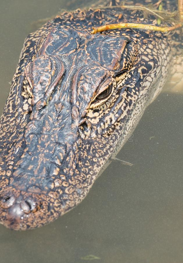 漂浮在池塘的一条幼小路易斯安那鳄鱼的顶头射击的关闭 库存图片