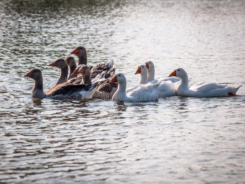 漂浮在池塘的水的家养的鹅,照亮由太阳 图库摄影