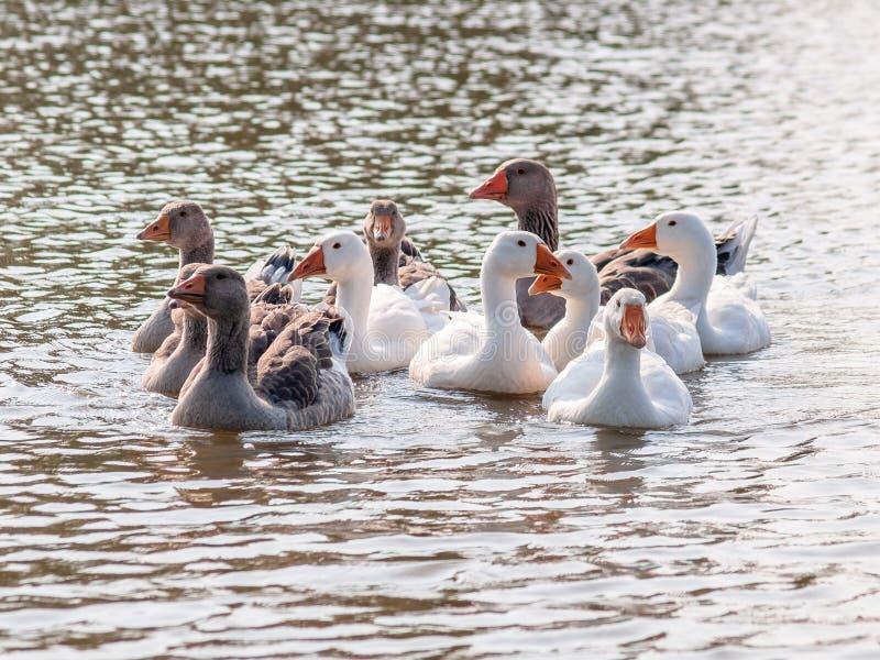 漂浮在池塘的水的家养的鹅,照亮由太阳 库存图片