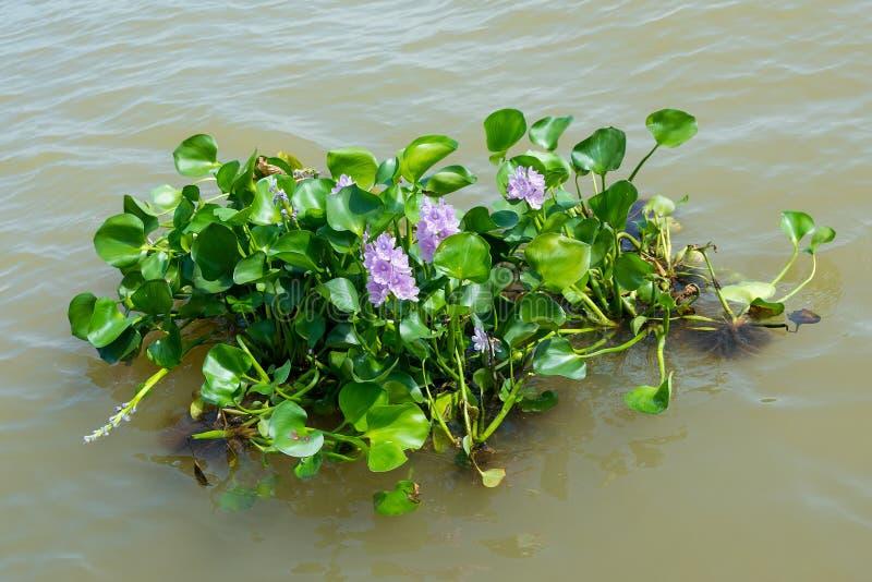 漂浮在河的凤眼兰植物 库存照片