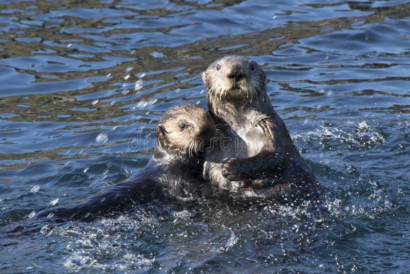 漂浮在沿海水域的两个海獭海岛  免版税库存图片