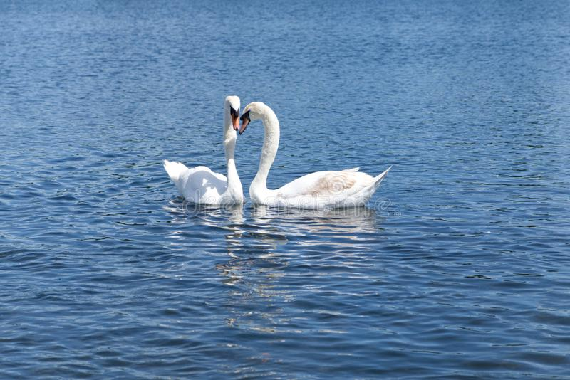 漂浮在湖的两只白色天鹅在海德公园,伦敦 免版税库存照片
