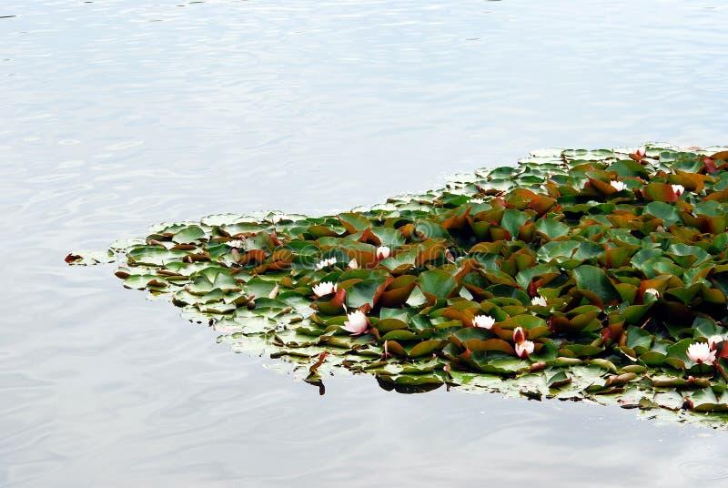 漂浮在湖的浪端的白色泡沫百合 库存照片
