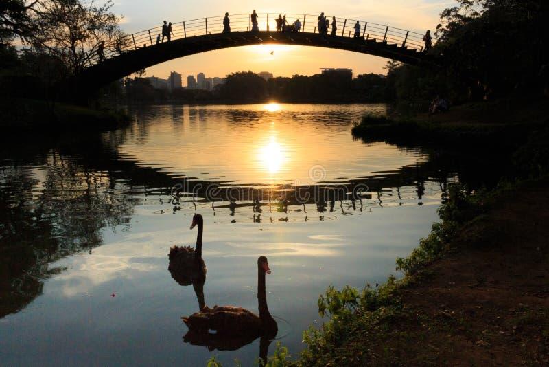 漂浮在湖,当人们观看五颜六色的日落时,伊比拉布埃拉公园,圣保罗,巴西的两黑天鹅 库存图片