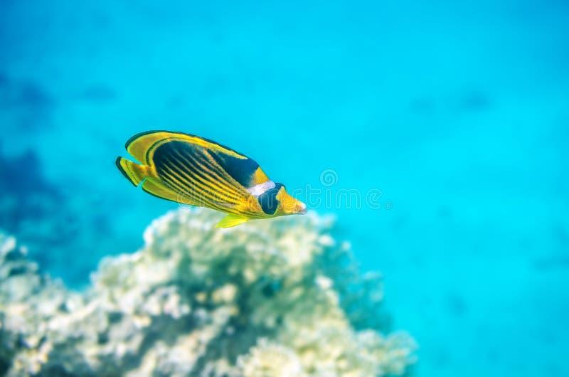 漂浮在红海的黄色蝴蝶鱼 免版税库存照片