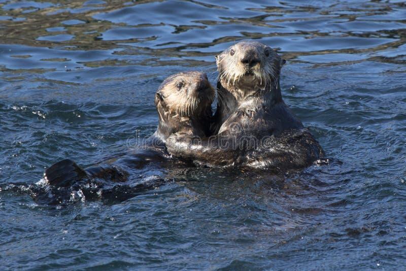 漂浮在水域中的女性和年轻海獭海岛 免版税库存图片
