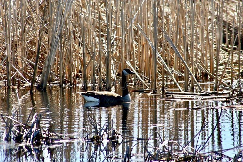 漂浮在水的加拿大鹅在沼泽地 免版税库存照片