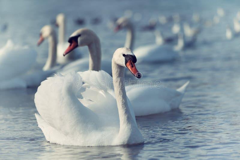 Download 漂浮在水的白色天鹅 库存照片. 图片 包括有 公园, 自由, 火箭筒, 浮动, 阳光, 羽毛, 茴香, 本质 - 30325580