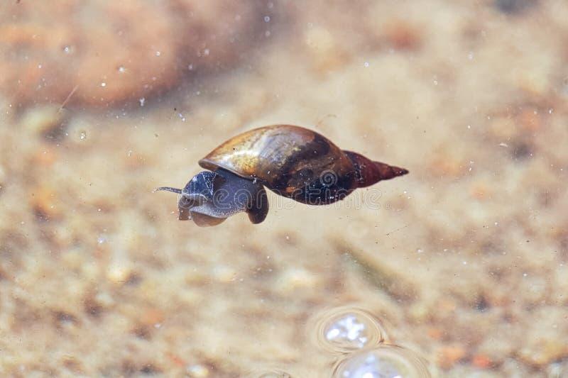 漂浮水的表面上的池塘蜗牛 库存照片