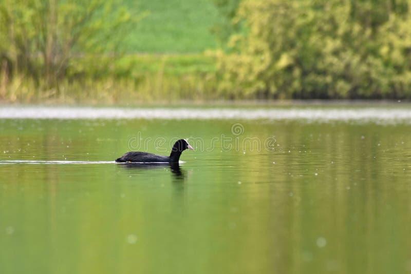 漂浮池塘骨顶属atra,早先的骨顶属的表面上的一只美丽的黑野鸭 免版税库存照片