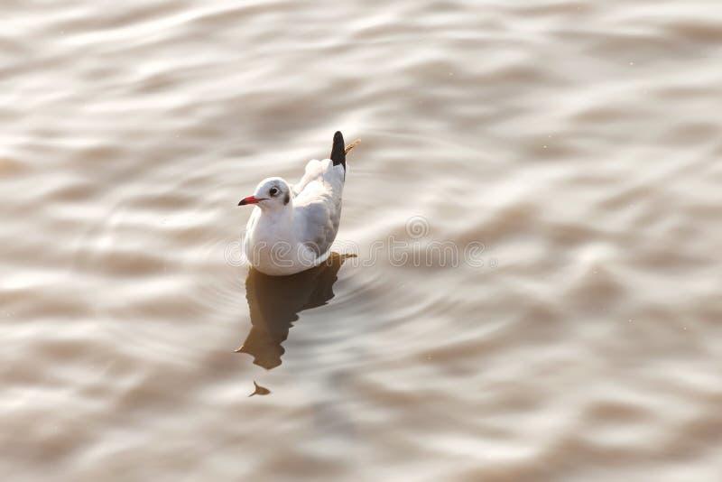 漂浮起波纹的水表面上的海鸥鸟在有日落光的海在夏时 动物和自然概念 免版税图库摄影