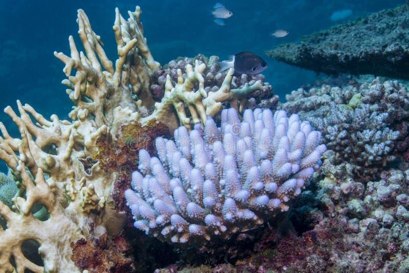 漂白的珊瑚 免版税库存照片