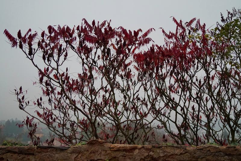 漆树typhina和灰色天空 免版税图库摄影