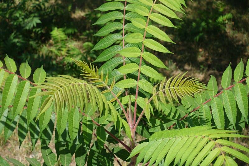 漆树typhina年轻鳍类的叶子  免版税库存照片