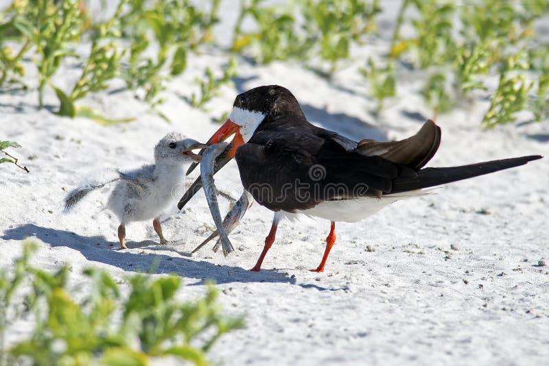 黑漏杓父母和小鸡与鱼 库存图片