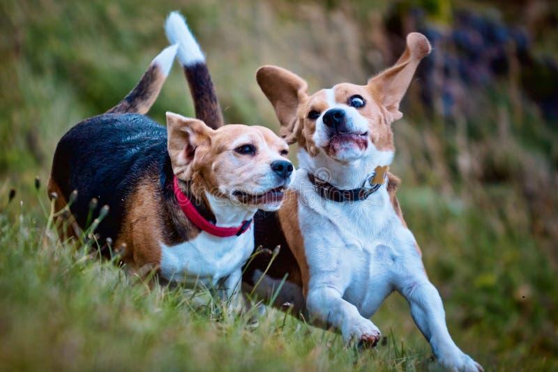 演奏二的小猎犬狗 免版税库存图片