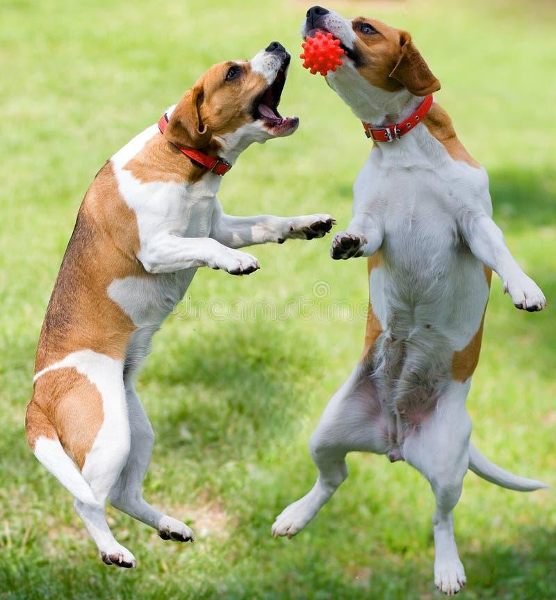 演奏二的狗 免版税库存照片