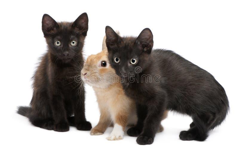演奏兔子的黑色小猫 免版税库存图片
