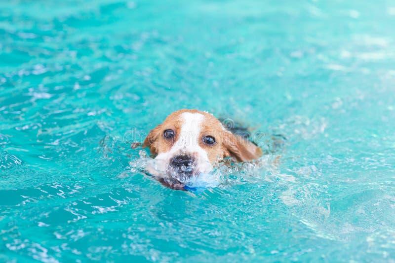 演奏在游泳池的小的小猎犬狗玩具 库存照片