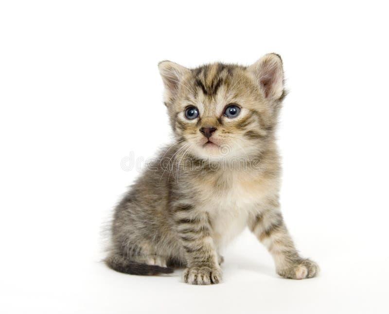 演奏小的白色的背景小猫 免版税库存照片