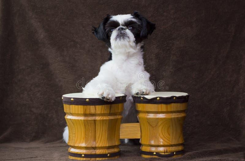 演奏小鼓的小狗。 免版税图库摄影
