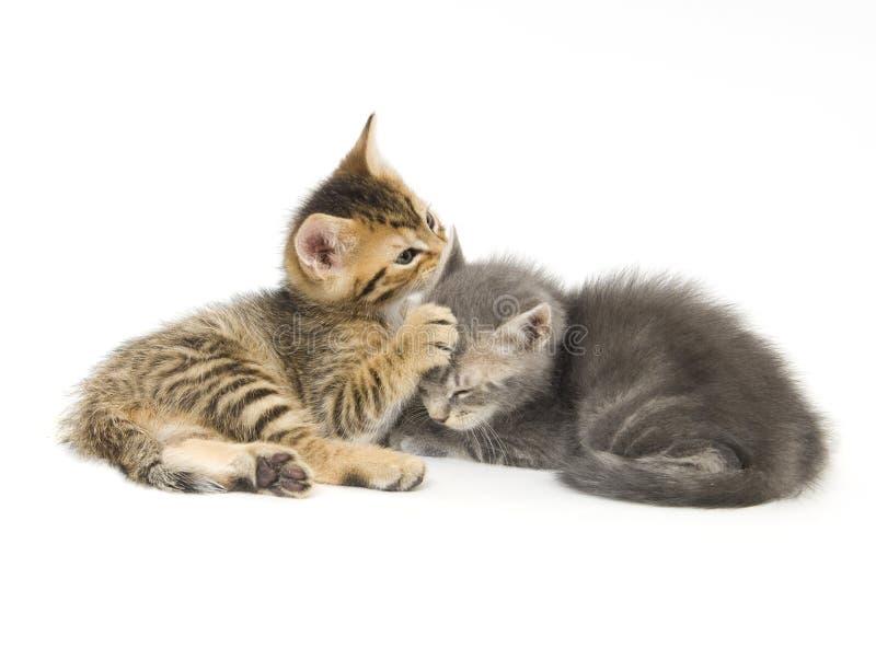 演奏平纹的灰色小猫 免版税库存图片