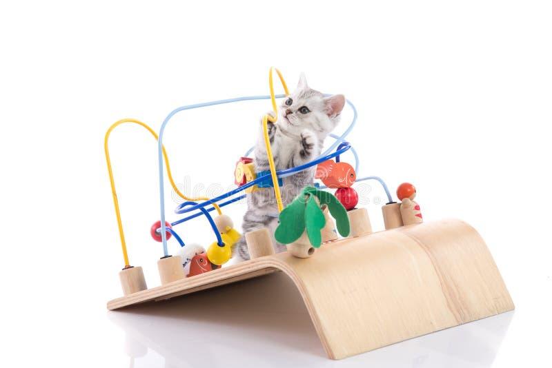演奏木玩具的逗人喜爱的美国shorthair小猫 免版税库存照片