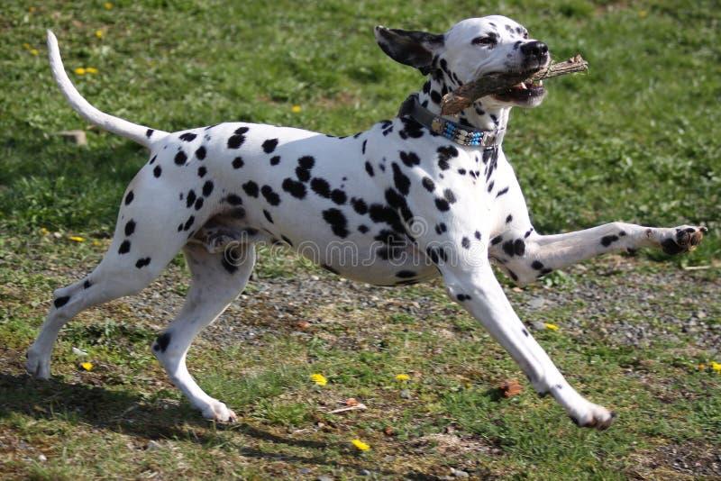 演奏棍子的达尔马希亚狗 库存照片