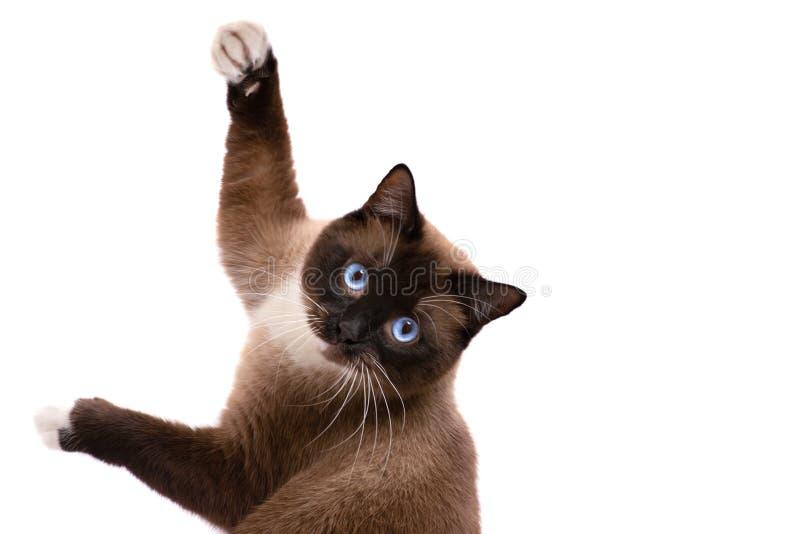 演奏棕色雪靴暹罗猫的特写镜头画象在地板上说谎 : 库存图片