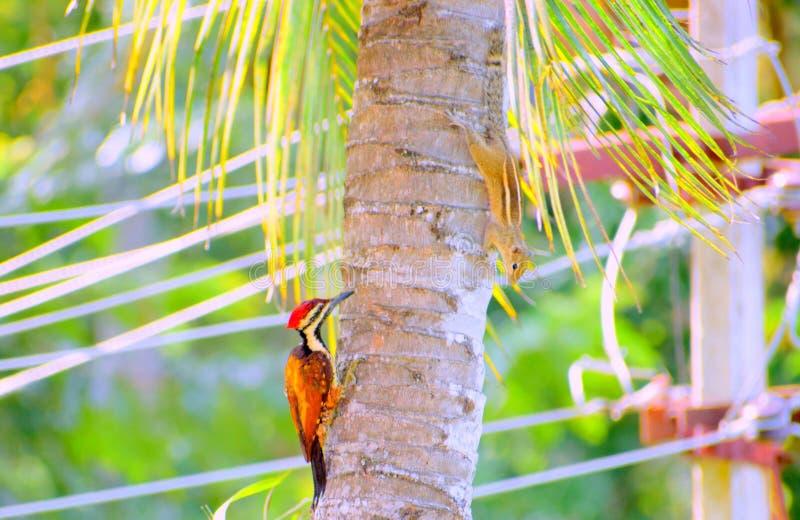 演奏皮&寻求在树的木啄木鸟和印地安灰鼠 库存图片