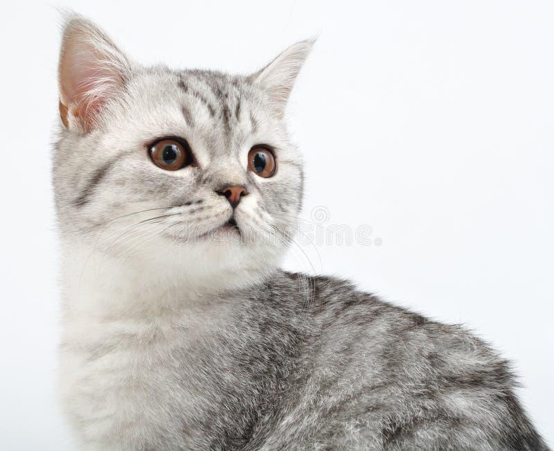 演奏苏格兰银的小猫 免版税库存图片