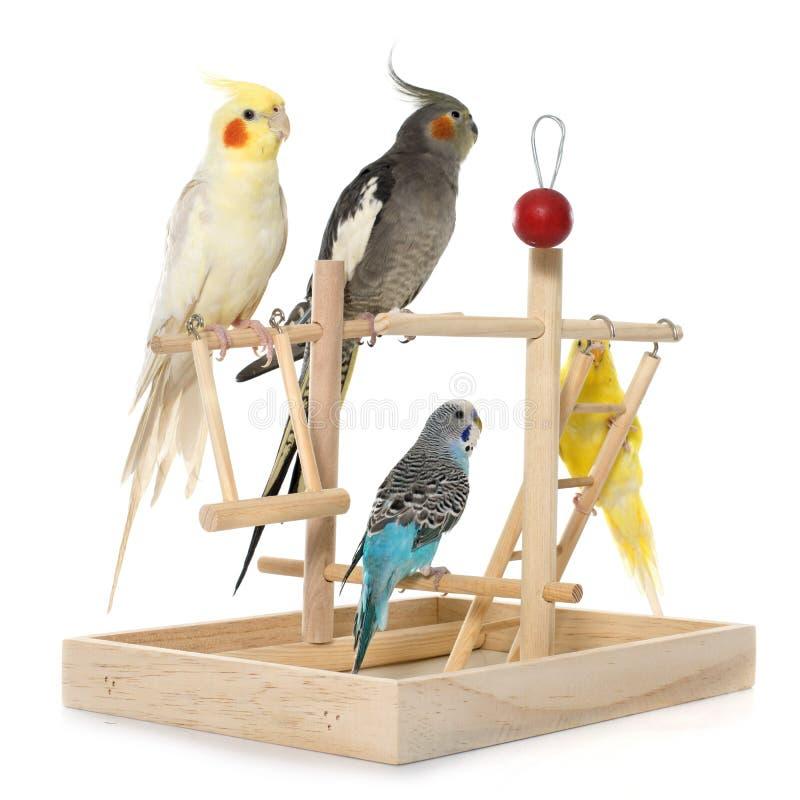 演奏长尾小鹦鹉和小形鹦鹉 免版税库存照片