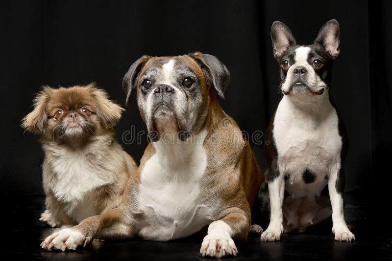 演播室被射击三可爱的狗 库存图片