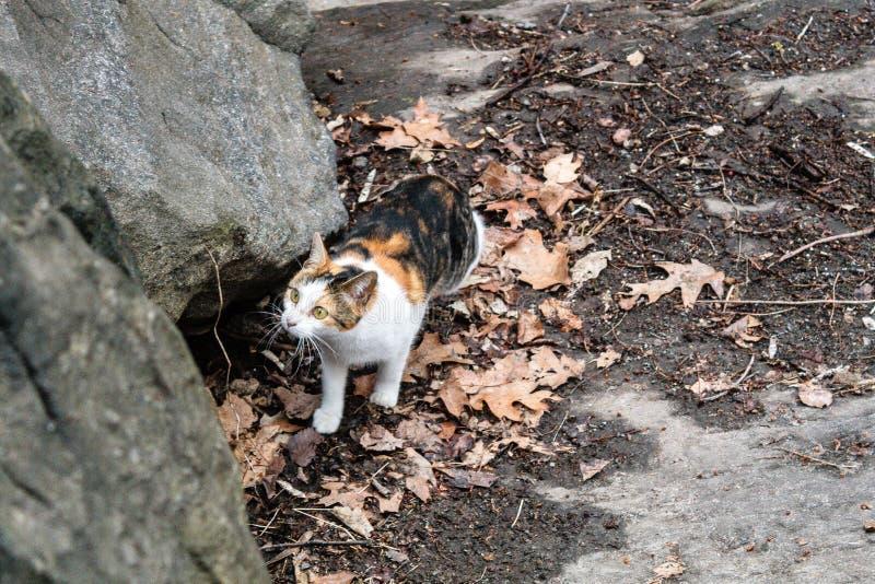 漫步在中央公园,纽约的三种颜色猫 免版税库存图片
