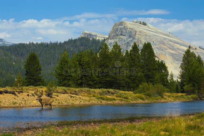 漫步在河下的雄鹿在Tuolumne草甸 库存图片