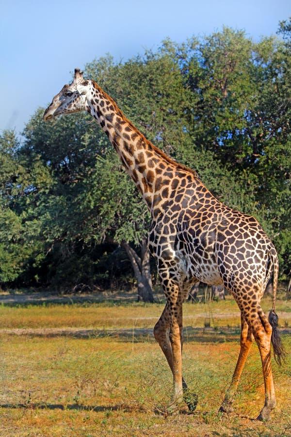 漫步在非洲平原的一头大成人长颈鹿 库存图片